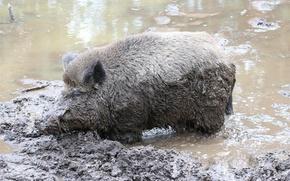 Картинка природа, грязь, кабан