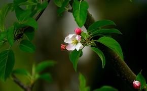 Картинка цветок, листья, розовый, ветка, весна, бутон, яблоня