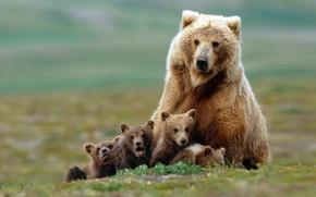 Обои семья, медведи, медвежата, гризли, медведица