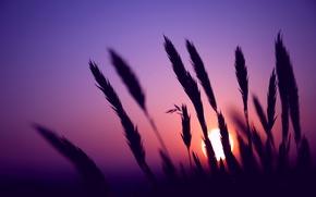 Картинка макро, колоски, размытость, сиреневое, поле, солнце, небо, Вечер, колосья, закат