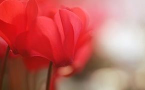 Картинка макро, цветы, красный, размыто, цикламены, цикламен, обои от lolita777
