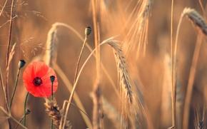 Картинка поле, цветок, лето, мак, колосья