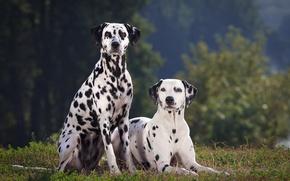 Картинка собаки, summer, далматин