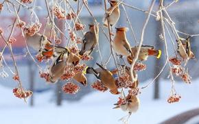 Картинка птицы, ветки, ягоды, дерево, Зима, рябина