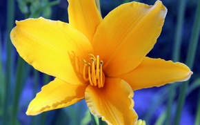 Картинка цветок, желтый, природа, растение, тычинки, лилейник