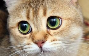 Обои кошка, кот, котяра, рыжик, большеглазый
