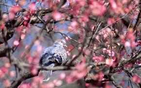 Картинка животные, цветы, птица, голубь, красота, весна, розовые, цветущее дерево, обои от lolita777