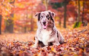 Картинка осень, язык, взгляд, цвета, парк, краски, листва, портрет, собака, ярко, австралийская овчарка, аусси, голубоглзая