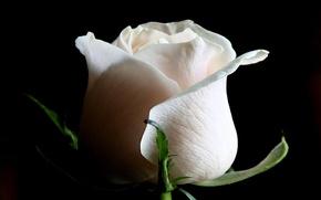 Картинка фон, роза, белая