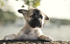 Картинка собака, щенок, german shepherd