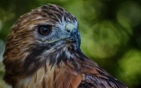 Обои Сокол, перья, клюв, птица