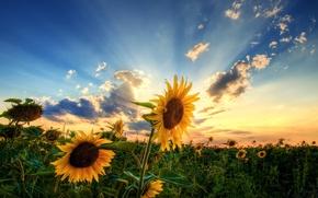 Обои поле, небо, солнце, облака, подсолнухи