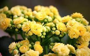 Картинка макро, весна, желтые, бутоны, желтые цветы, каланхоэ