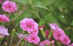 Картинка цветы, природа, зеленый, розовый