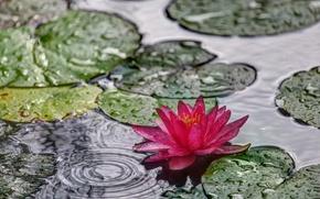 Картинка листья, вода, лилия