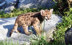 Картинка хищник, котёнок, пума, горный лев, кугуар