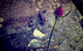 Картинка wallpaper, red, Flower, flower wallpaper, گل لاله