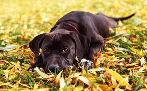 Картинка осень, трава, взгляд, листья, собака, Maya