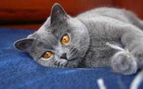 Обои кошка, глаза, кот, серый, лапы, киса, ушки