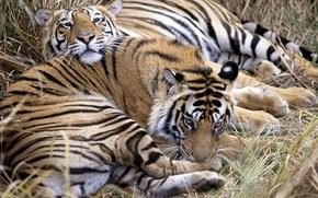 Обои тигры, хищники, отдых, звери