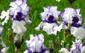 Картинка цветы, фото, ирисы, Orinoco