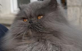 Картинка кот, пушистый, мордочка, персидская кошка