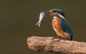 Обои ветка, еда, птица, улов, сук, рыба, зимородок