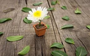 Картинка белый, цветок, листья, цветы, желтый, фон, widescreen, обои, wallpaper, листочки, листки, flower, широкоформатные, background, полноэкранные, …