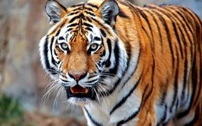 Картинка кошка, тигр, хищник, зверь