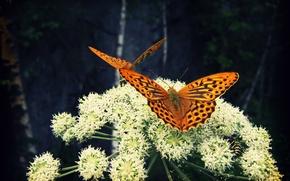 Обои природа, цветок, насекомые, бабочки, Larisa Koshkina