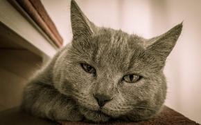 Обои усы, моська, кошак, котяра, глаза