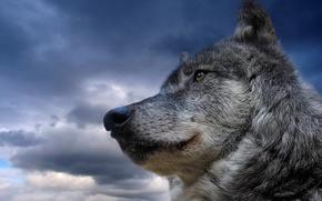 Обои небо, животное, волк