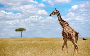 Картинка небо, природа, жираф