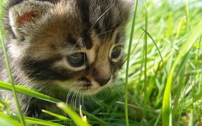 Картинка природа, прелесть, прогулка, лето, трава, котёнок
