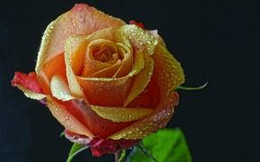 Картинка капли, роза, чёрный фон