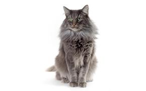 Картинка кошка, белый, кот, фон, шерсть, серая, зеленые глаза
