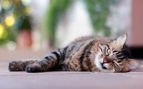 Картинка кошка, лежит, взгляд, клык, полосатый, морда, кот
