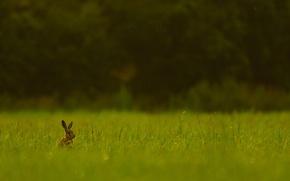 Картинка поле, лес, трава, заяц, живая природа