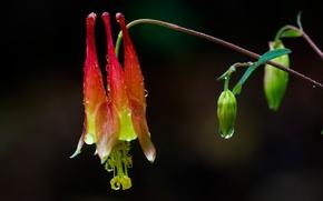 Картинка цветок, капли, растение