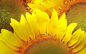 Картинка подсолнухи, цветы, желтый, природа, настроение, лепестки