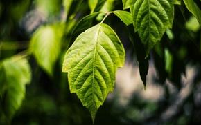 Картинка лето, листья, макро, зелёный