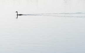 Картинка природа, озеро, утка