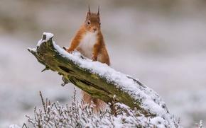 Обои зима, снег, белка, рыжая, коряга