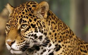 Обои кошка, jaguar, Ягуар, пятна