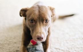 Картинка собака, щенок, pitbull