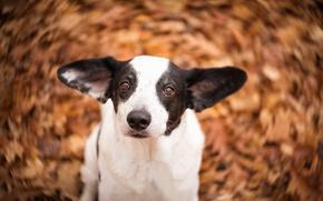 Картинка взгляд, морда, собака, уши, боке