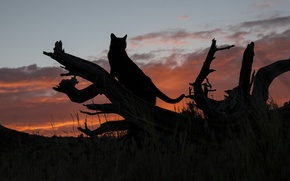 Картинка кот, закат, силуэт, бревно