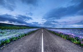Обои цветы, луга, Исландия, люпин, дорога, горизонт, Iceland