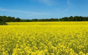 Картинка поле, небо, солнце, деревья, желтое, рапс