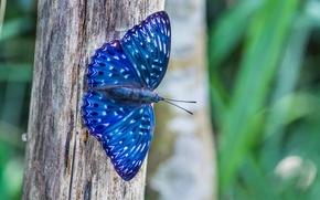 Картинка макро, природа, дерево, Бабочка, синяя